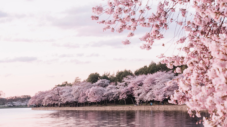 Photo of DC's Tidal Basin with Cherry Blossoms
